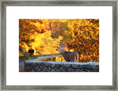 Buck In The Fall 09 Framed Print by Metro DC Photography