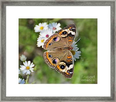 Buckeye Butterfly Framed Print by Rodney Campbell