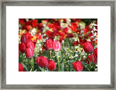 Buckingham Tulips Framed Print by Carrie OBrien Sibley