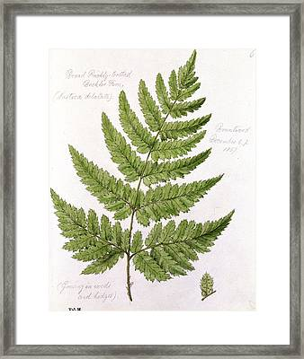 Buckler Fern Framed Print by WJ Linton