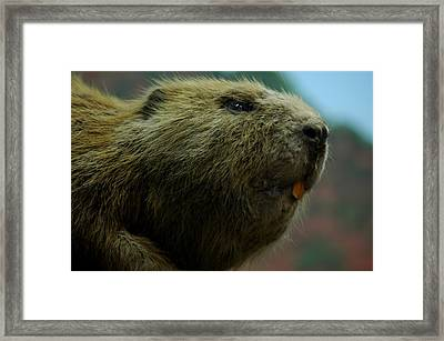 Bucky Beaver Framed Print by LeeAnn McLaneGoetz McLaneGoetzStudioLLCcom