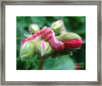 Red Bud Time Framed Print by John King