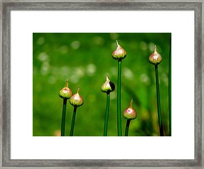 Budding Allium Framed Print