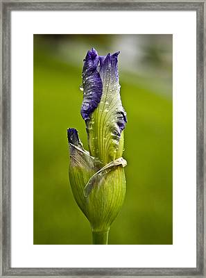 Budding Iris Framed Print