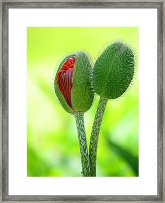 Budding Poppies Framed Print