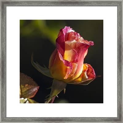 Budding Rose Framed Print