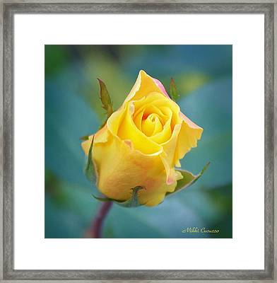 Budding Yellow Rose Framed Print by Mikki Cucuzzo