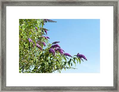 Buddleia Against Blue Sky Framed Print by Adrian Burke