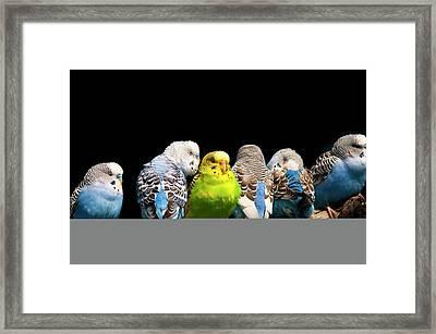 Budgerigar Framed Print by Jim McKinley