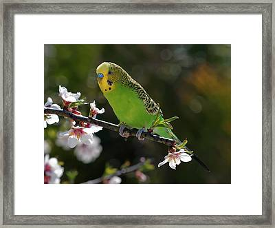Budgie Perching On Cherry Branch Framed Print by QuimGranell