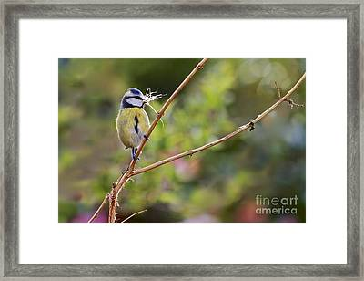 Bue Tit. Framed Print by Gary Bridger