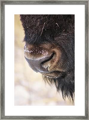 Buff Nose Framed Print by Rick Rauzi