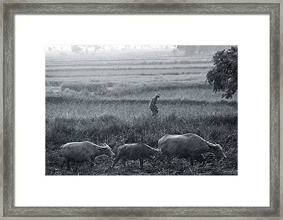 Buffalo And Monsoon Rain Framed Print by Anonymous