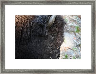 Buffalo Close Up Framed Print by Dave Knoll