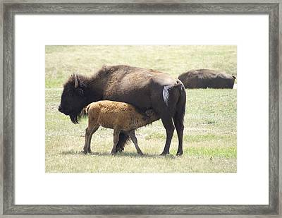 Buffalo Family Framed Print by Jerry Cahill