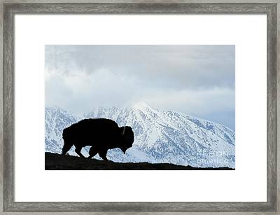 Framed Print featuring the photograph Buffalo Suvived Another Yellowstone Winter by Dan Friend