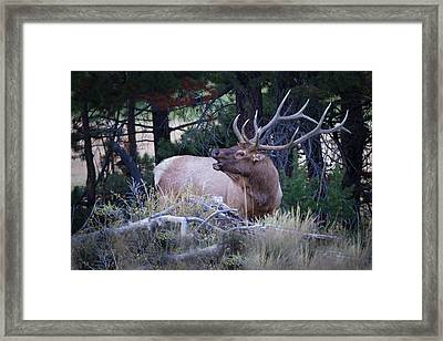 Bugling Bull Elk Framed Print by Ronald Lutz