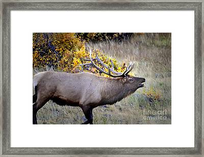 Framed Print featuring the photograph Bugling Elk  In Rmnp by Nava Thompson