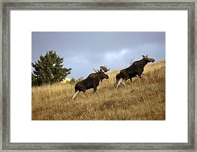 Bull Cow And Moose Calf In The Cypress Hills Park Framed Print by Mark Duffy