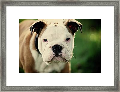 Bull Dog Framed Print by Muoo Photography