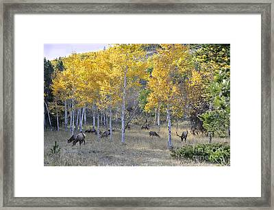 Framed Print featuring the photograph Bull Elk And Harem by Nava Thompson