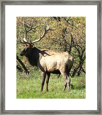 Bull Elk  Framed Print by The Kepharts