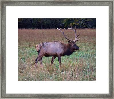 Framed Print featuring the photograph Bull Elk In Rut by Gregory Scott