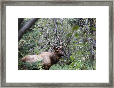 Bull Elk In The Forrest Framed Print by David Wilkinson