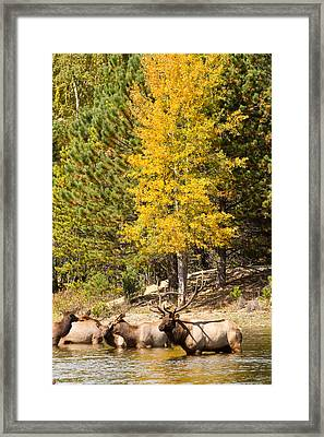 Bull Elk Watching Over Herd 3 Framed Print by James BO  Insogna