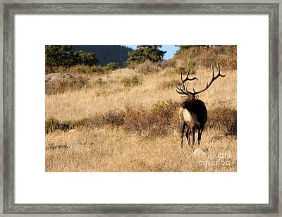 Bull Elk Watching Over Herd Framed Print