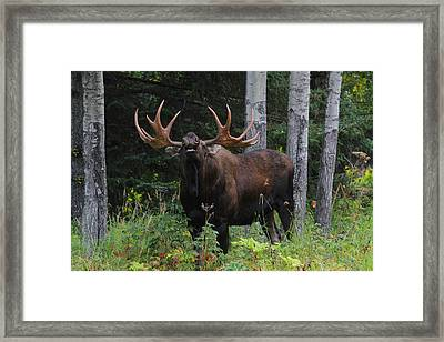 Framed Print featuring the photograph Bull Moose Flehmen by Doug Lloyd