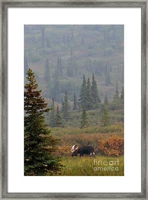 Bull Moose In Alaska Framed Print