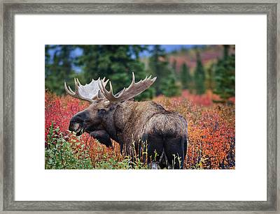 Bull Moose In The Fall Colors Framed Print by Thomas Payer
