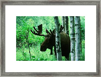 Bull Moose  Framed Print by Ronnie Glover