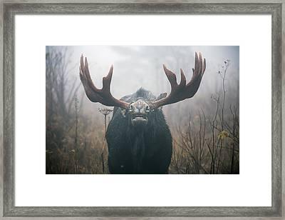 Bull Moose Testing Air For Pheromones Framed Print