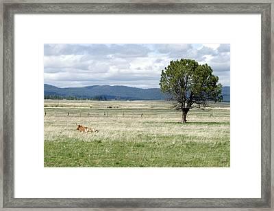 Bull Framed Print by Sara Stevenson