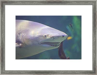 Bull Shark Head Framed Print by Paul Svensen