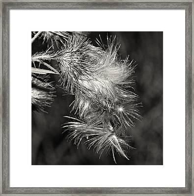 Bull Thistle Monochrome Framed Print by Steve Harrington