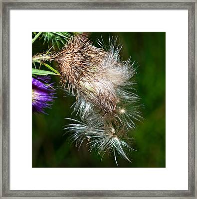 Bull Thistle Framed Print by Steve Harrington