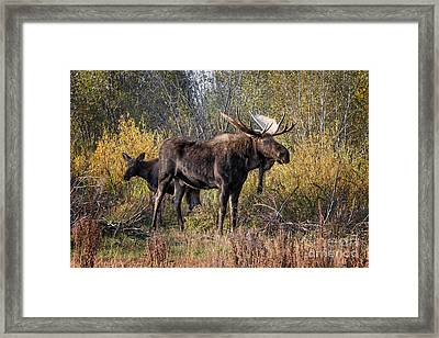 Bull Tolerates Calf Framed Print