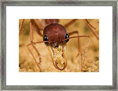 Bulldog Ant Myrmecia Gulosa Worker Framed Print by Mark Moffett