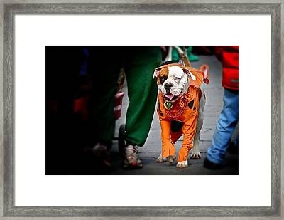 Bulldog In Orange Costume Framed Print