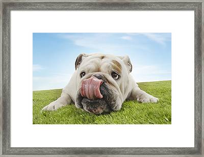 Bulldog Lying On Grass Licking Lips Framed Print