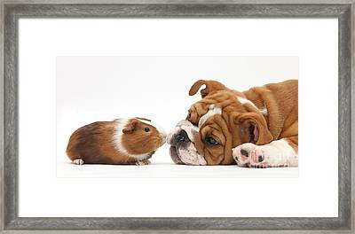 Bulldog Pup Face-to-face With Guinea Pig Framed Print by Mark Taylor