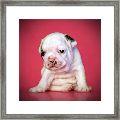 Bulldog Puppy Framed Print by Retales Botijero