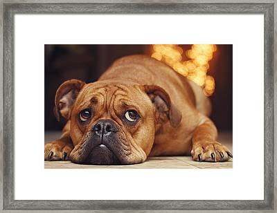 Bulldog Framed Print by Tam Gock