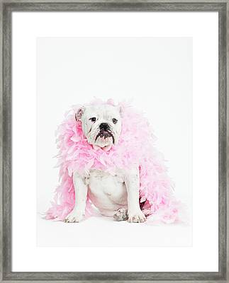 Bulldog Wearing Feather Boa Framed Print by Max Oppenheim