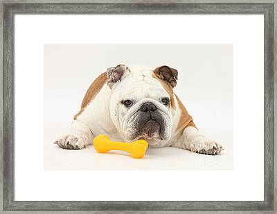 Bulldog With Plastic Chew Toy Framed Print by Mark Taylor