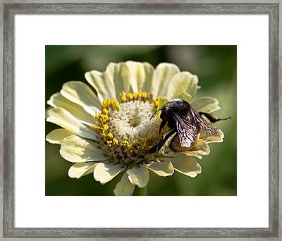 Framed Print featuring the photograph Bumble Bee  by Anna Rumiantseva