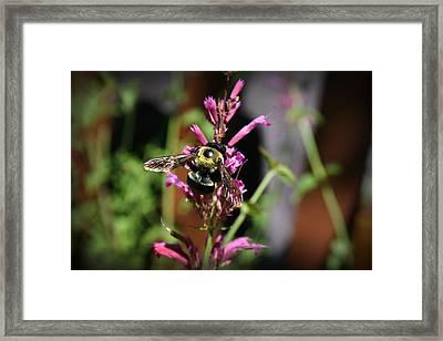 Bumble Bee IIi Framed Print by Kelly Hazel